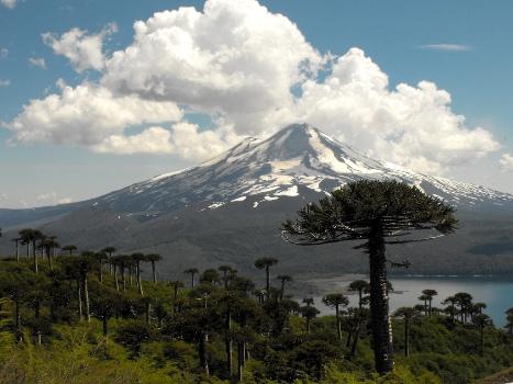 Araucaria_araucana_-_Parque_Nacional_Conguillío_por_lautaroj_-_001