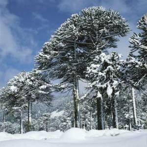 033-bosque-pehuen-araucarias-invierno-Chile